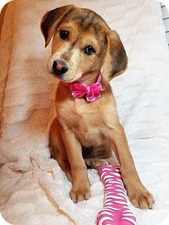 German Shepherd Dog/Labrador Retriever Mix Puppy for adoption in Elkton, Maryland - Reese
