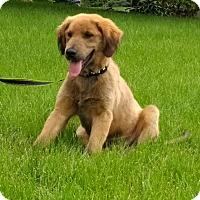 Adopt A Pet :: Odin - New Oxford, PA