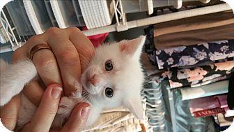 Domestic Mediumhair Kitten for adoption in Ypsilanti, Michigan - Buzz