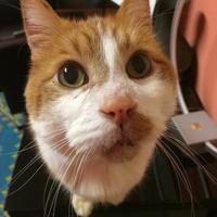 Domestic Shorthair/Domestic Shorthair Mix Cat for adoption in Seattle, Washington - Henry
