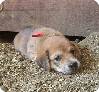 Dachshund Mix Puppy for adoption in Council Bluffs, Iowa - Sadie's Puppy - red ribbon (Adoption Pending) female (medical hold until August 19)