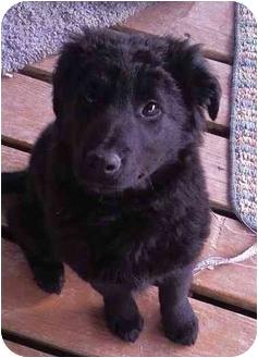 Labrador Retriever Mix Puppy for adoption in Evergreen, Colorado - Hope