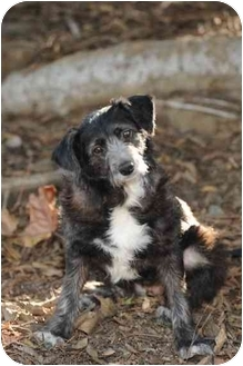 Poodle (Miniature)/Terrier (Unknown Type, Small) Mix Dog for adoption in Los Angeles, California - Oreo