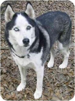 Husky Dog for adoption in Lee, Florida - Mako