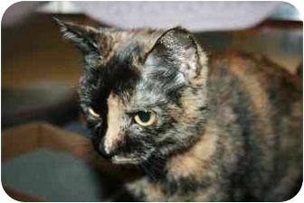 Domestic Shorthair Cat for adoption in Westbrook, Maine - Trista