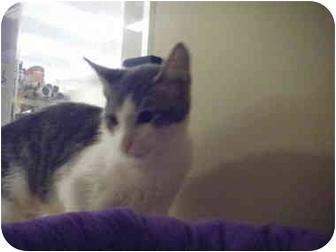 Domestic Shorthair Kitten for adoption in Brea, California - Nanette