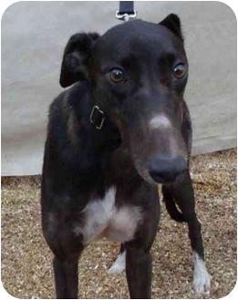 Greyhound Dog for adoption in Musquodoboit Harbour, Nova Scotia - Fire Zone