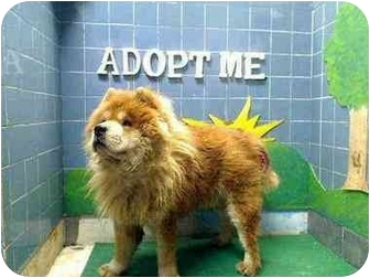 Chow Chow Dog for adoption in New York, New York - Chulu