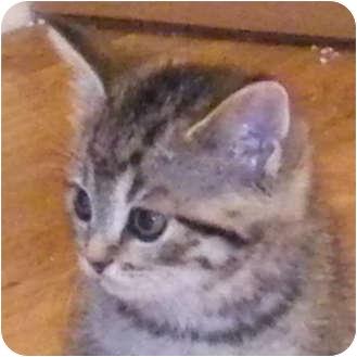Domestic Shorthair Kitten for adoption in Toronto, Ontario - Melanie