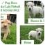 """Photo 1 - Husky/Labrador Retriever Mix Puppy for adoption in Salem, Oregon - """"B"""" Pups - Boys"""