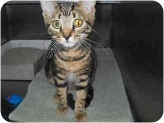 Bengal Kitten for adoption in San Clemente, California - WILLIE