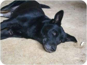 Shepherd (Unknown Type)/Labrador Retriever Mix Dog for adoption in Fair Oaks Ranch, Texas - Shanty