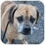 Photo 1 - Pug/Beagle Mix Dog for adoption in Islip, New York - Herbie