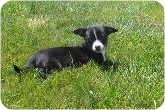 Corgi/Terrier (Unknown Type, Small) Mix Puppy for adoption in Tustin, California - Cruiser