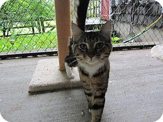 Domestic Mediumhair Cat for adoption in Kingston, Washington - Athena