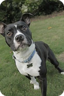 Pit Bull Terrier Dog for adoption in Portland, Oregon - Hammer