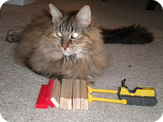 Maine Coon Cat for adoption in Laguna Woods, California - Look at Liontyne