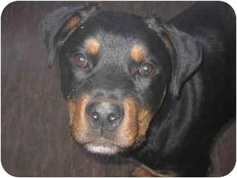 Rottweiler Puppy for adoption in Alpine, California - Capone