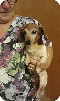 Dachshund Dog for adoption in Cat Spring, Texas - Mia