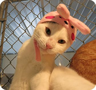 Domestic Shorthair Cat for adoption in Geneseo, Illinois - Andy