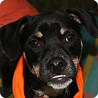 Adopt A Pet :: Patrick - PENDING, in Maine - kennebunkport, ME