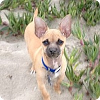 Adopt A Pet :: Little Guy - San Jose, CA