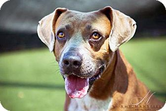 Hound (Unknown Type) Mix Dog for adoption in Vista, California - Rusty