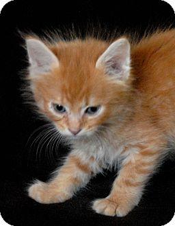 Domestic Mediumhair Kitten for adoption in Fountain Hills, Arizona - NORRIS