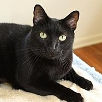 Domestic Shorthair Cat for adoption in Miami, Florida - Ozzie