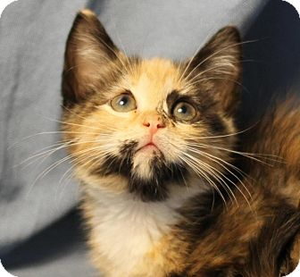 Domestic Shorthair Kitten for adoption in Winston-Salem, North Carolina - Shotgun Annie