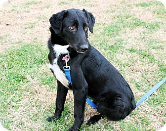 Border Collie/Flat-Coated Retriever Mix Dog for adoption in Salem, New Hampshire - COLEMAN