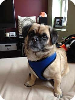 Pug/Jack Russell Terrier Mix Dog for adoption in Blue Bell, Pennsylvania - Stella