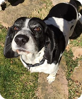 English Springer Spaniel/Beagle Mix Dog for adoption in Knoxville, Tennessee - Bronte