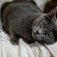 Russian Blue Cat for adoption in Midway City, California - Iris