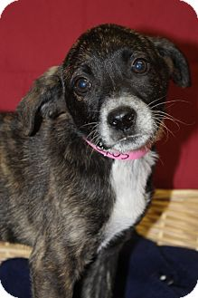 Australian Cattle Dog Mix Puppy for adoption in Waldorf, Maryland - Lexis