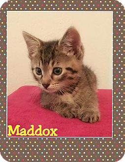 Domestic Mediumhair Kitten for adoption in Mansfield, Texas - Maddox