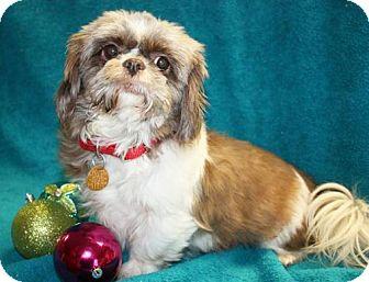 Shih Tzu Mix Dog for adoption in Cottageville, West Virginia - Cee Cee