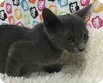 Russian Blue Kitten for adoption in Fountain Hills, Arizona - KYLE