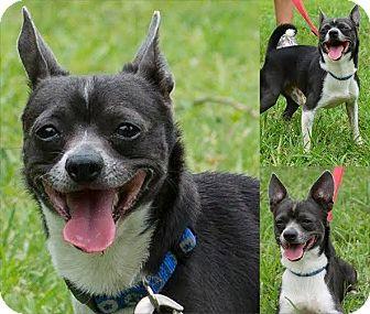 Chihuahua Mix Dog for adoption in Boca Raton, Florida - Rocco