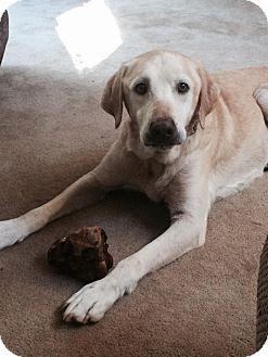 Labrador Retriever Dog for adoption in Cumming, Georgia - Woodrow