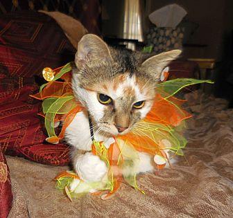Domestic Shorthair Cat for adoption in Huntsville, Alabama - Kamy
