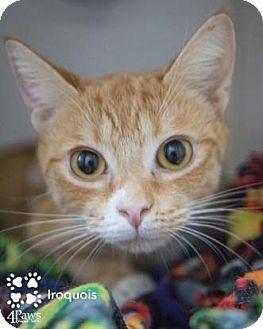 Domestic Shorthair Kitten for adoption in Merrifield, Virginia - Iroquois