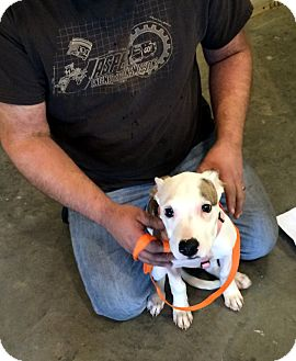 Pit Bull Terrier Mix Puppy for adoption in Loogootee, Indiana - Annabelle