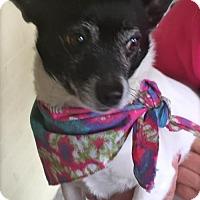Adopt A Pet :: Rooster - Princeton, KY