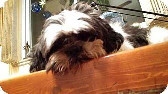 American Pit Bull Terrier Puppy for adoption in Denver, Colorado - Snowden