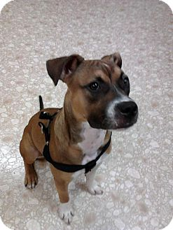 Boxer/American Pit Bull Terrier Mix Dog for adoption in Bloomington, Illinois - Baxter