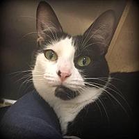 Domestic Shorthair Cat for adoption in St. Louis, Missouri - Bettina