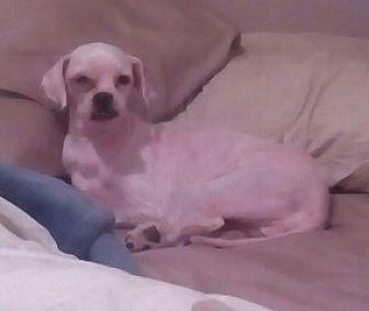 Shih Tzu Mix Dog for adoption in Houston, Texas - Wink