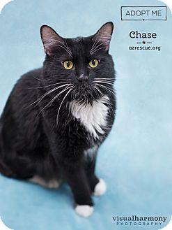Domestic Longhair Cat for adoption in Phoenix, Arizona - Chase