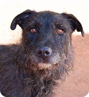 Scottie, Scottish Terrier/Terrier (Unknown Type, Medium) Mix Dog for adoption in Las Vegas, Nevada - Cadbury